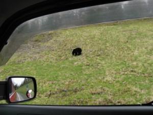 One of 12 black bear sightings